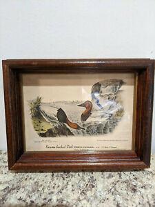 Audubon Framed print 1938 canvas backed duck - Wood / Glass Frame