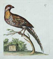 1794 PHEASANT Rémi WILLEMET Ornithologie copper engraving in fine hand color