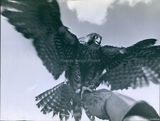 1964 Falcon Perches On Pete Asborno'S Gloved Hand Beats Wings Animals Photo 8X10