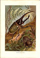 Stampa antica INSETTI SCARABEO ERCOLE Dynastes hercules 1891 Old Antique print