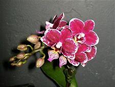 Mini Phalaenopsis Tadia Little Pretty x Zuma's Pixie Orchid Plant - 2 spikes