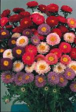 Aster Medium Watering Perennial Flowers & Plants