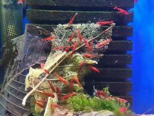 10 x Bloody Mary Shrimp~Great Algae Eater~UK breed~