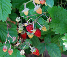 Alpine Strawberry native wild plant 9cm pot FREE DELIVERY