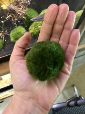 Moss Ball (Large) Buy2Get1Free
