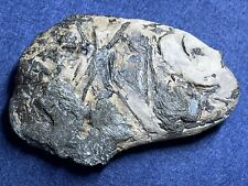 More details for a fossil fish from the london clay of the isle of sheppey