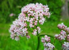 50 Samen Echter Arznei Baldrian Valeriana officinalis Anthos Heilpflanze
