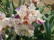 Tall bearded iris Peach Jam