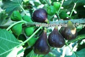 3x Fig cuttings Ficus MICHURINSKA-10 famous Bulgarian variety /Feigen Stecklinge