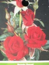 Beauty Secret Med Red Miniature Rose Bush 3 Gallon Size Plants Plant Live Roses