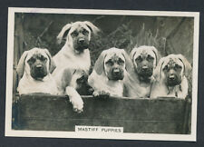 Mastiff Puppies from series Dogs by Senior Service Cigarettes card #33