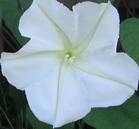 FLOR LUNA ipomea alba 50 semillas seeds
