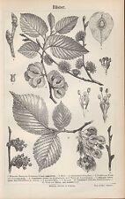 Lithografie 1890: Rüster. Ulme Ulmus campestris Flatterrüster Ulmus laevis