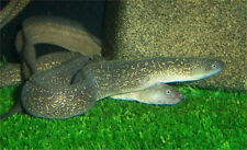 """x2 SNOWFLAKE EEL FRESHWATER EELS - MED 4""""-6""""  -   LIVE FISH - FREE SHIPPING"""