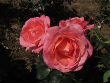 LOVELY LADY - 4lt Potted Hybrid Tea Garden Bush Rose - Vibrant Pink, Fragrant