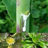"Wild Lettuce (Lactuca virosa) organic Seeds  """"Black Spore Gardens"""""