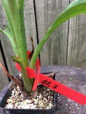 rare cliff ensete superbum banana fully rooted(4)potted plants rarely offered#3
