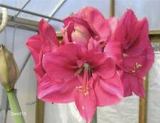 1 Large Pink Heirloom Pink Surprise Amaryllis Bulb ~ Stunning Bulbs