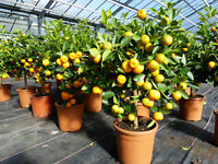 Calamondin Stamm Orange Citrus Mitis 90 cm Orangenbaum Calamondino Kalamansi