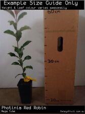 Photinia Red Robin (Photinia fraseri) Tree Plant