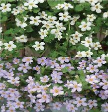 Fleur-Bacopa Topia mélangées - 50 graines-en vrac Pack