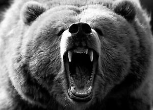 Framed Print - Black & White Roaring Wild Grizzly Bear (Picture Alaskan Animals)