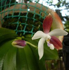 Rare orchid species seedling - Phalaenopsis speciosa