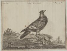 TAUBE Original Fessard Kupferstich dat. 1767 Taubenzucht Hyazinthtaube Geflügel
