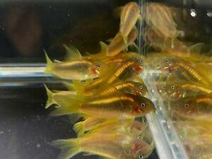 Aqua Huna Gold Laser Cory - 4 pack