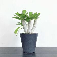 1head euphorbia venenifica Desert plant Euphorbiaceae succulent Plants High6-8cm