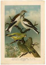 Grünfink-Schneefink-Finken-Fink-Vögel-Ornithologie-Lithographie Naumann um 1900