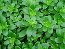 Sedum Kimnachii -Hardy Succulent Rockery Ground-cover Plant in 9cm Pot