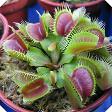 Wholesale Gardening JARDINERIA Venus Fly Trap Carnivorous Plant 1 bag of Seeds