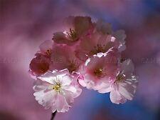 PINK Cherry Blossom Tree Bloom FIORI CASA art print poster foto bmp2285a