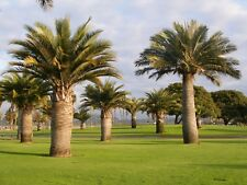 Jubaea chilensis Palmen Pflanze Honigpalme Palme Winterfest Winterhart 25-35cm