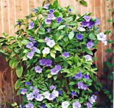 SWEET & PETITE Brunfelsia latifolia purple white scented compact plant 140mm pot