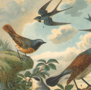 1897 Lithographie originale Oiseaux d'Europe Paruline Hirondelles Ornithologie