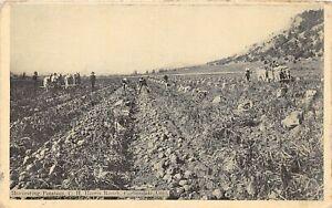 H67/ Carbondale Colorado Postcard c1910  Harvesting Potatoes Harris Ranch 17