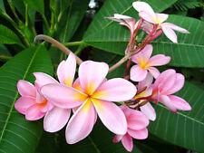 "Exotic Thailand Pale Rose Pink Plumeria - Frangipani - Bareroot 8 -10"" Cutting"