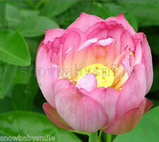 10Pcs Light Pink Lotus Seeds Water Lily Pad Nymphaea Nelumbo Nucifera Pond Plant