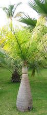 Flaschenpalme Hyophorbe lagenicaulis Pflanze 20cm Fasspalme Palme sehr selten
