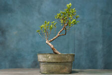 Twisted Trunk Tiger Bark Ficus Pre-Bonsai! Develops Gnarly Spotted Bark!