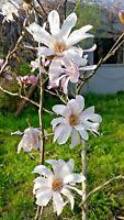 120cm weiße Sommermagnolie Magnolienbaum Magnolia sieboldii