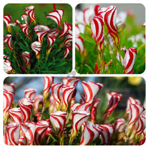 Candy Cane Sorrel Oxalis Versicolor Seeds Garden Flowers