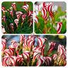 Candy Cane Sorrel Oxalis Versicolor Seeds Garden Flowers