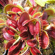 40pcs/bag Venus Fly Trap Dionaea Muscipula Carnivorous Flower Seeds rarely Gift