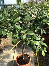 Citrus 'Limon' - Lemon Tree - Overall Height 80cm (excluding pot) - 6 Ltr Pot
