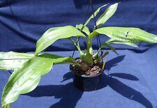 Coelogyne massangeana. Pendulous cream flowers. Healthy plant 7 bulbs ,