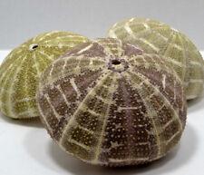 "2 to 3"" Alfonso Sea Urchin Seashell Wedding Decor Nautical Shell Party Display"