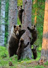 Grizzly bear family  - 3D Postcard Lenticular Greeting Card